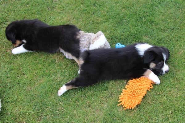 Dulyn's Pups (3)